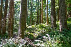 Pratt Old Growth Trees